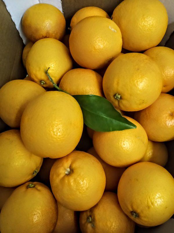 orange sanguine 1